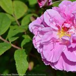 Rosa Therese Bugnet op 24 mei 2017 - 8005-20170524