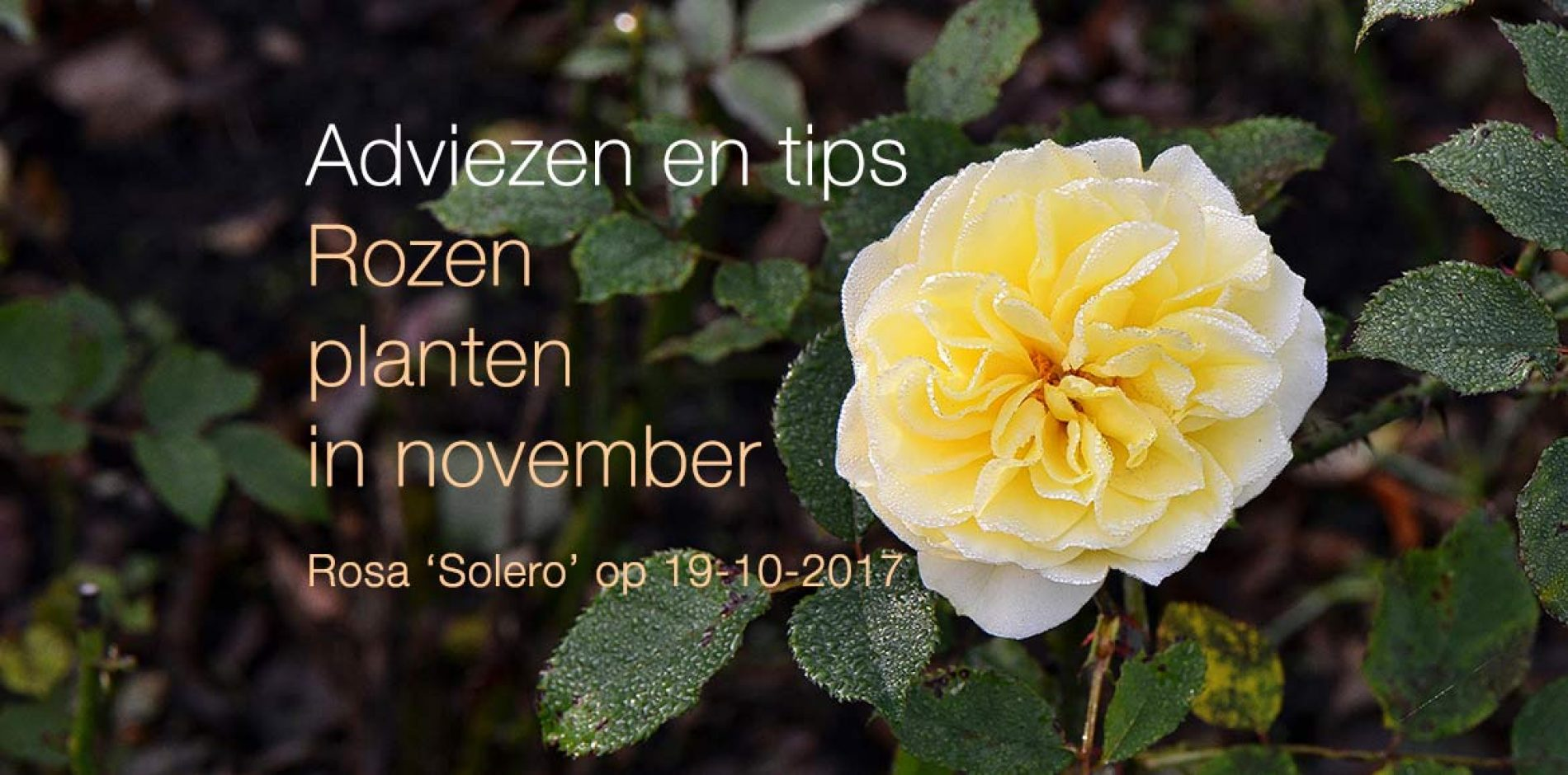 Rozen planten in november