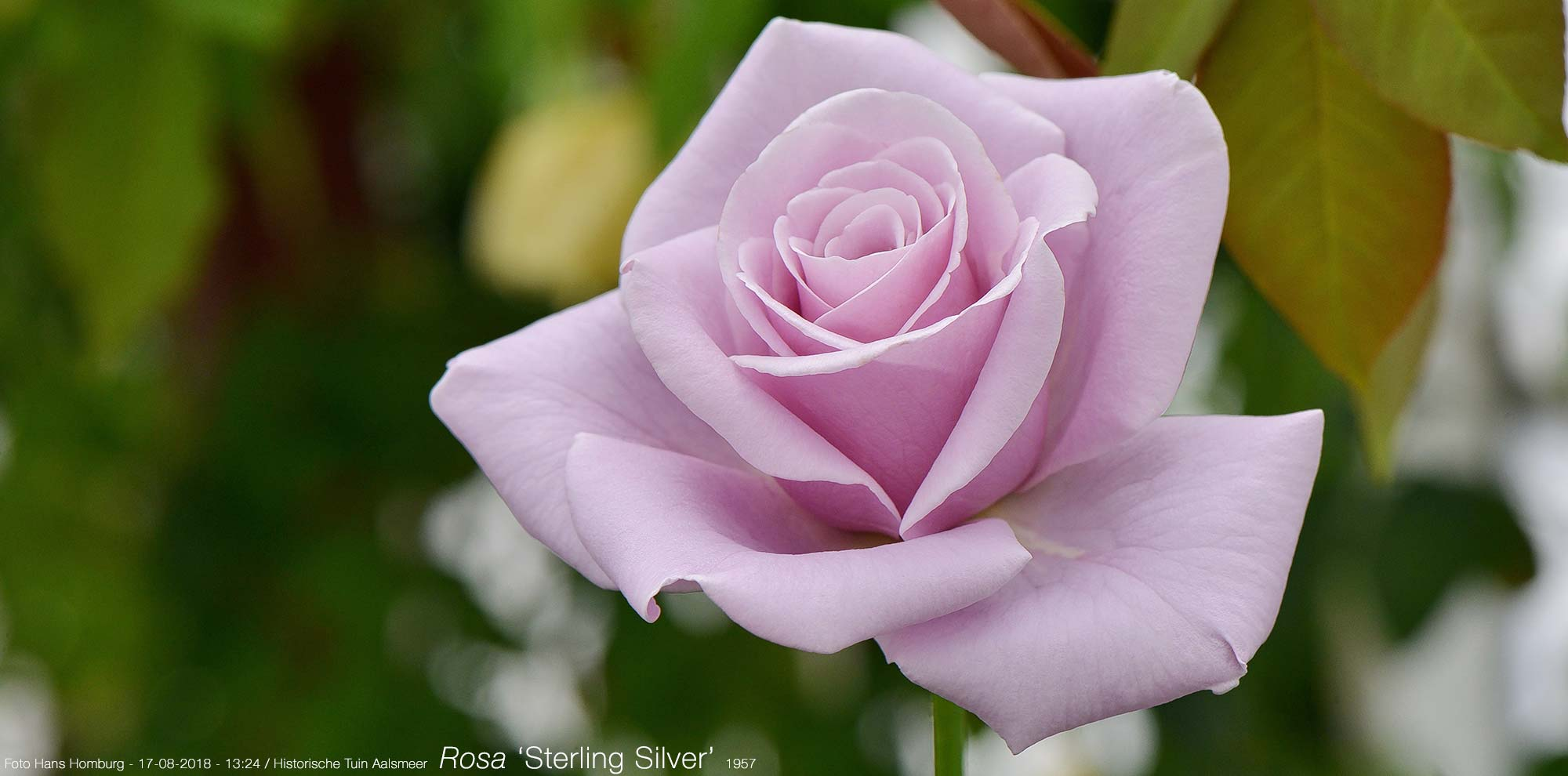 Rosa 'Stirling Silver' 1897