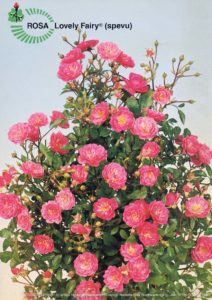 Brochure Rosa 'Lovely Fairy' 1990